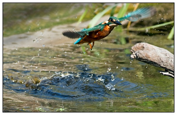 A Kingfisher on the Mardyke in Thurrock, Essex