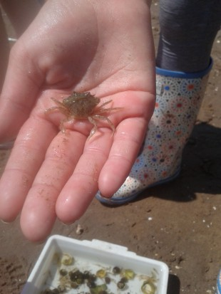 A baby crab
