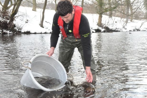James Rabjohns, Fish Farm Technical Officer releasing adult Grayling back into a very cold River Derwent near Hathersage