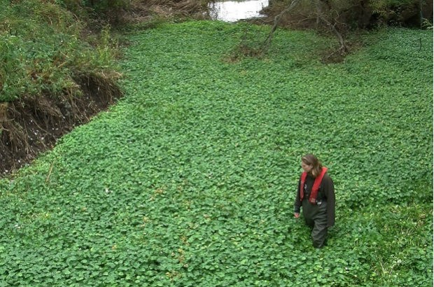 Floating pennywort