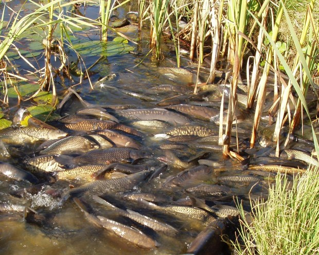 Reduced water levels show fish in distress