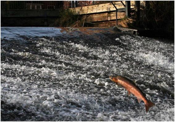 Salmon leaping at Heatley Weir