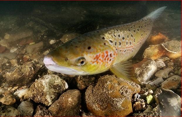Adult salmon