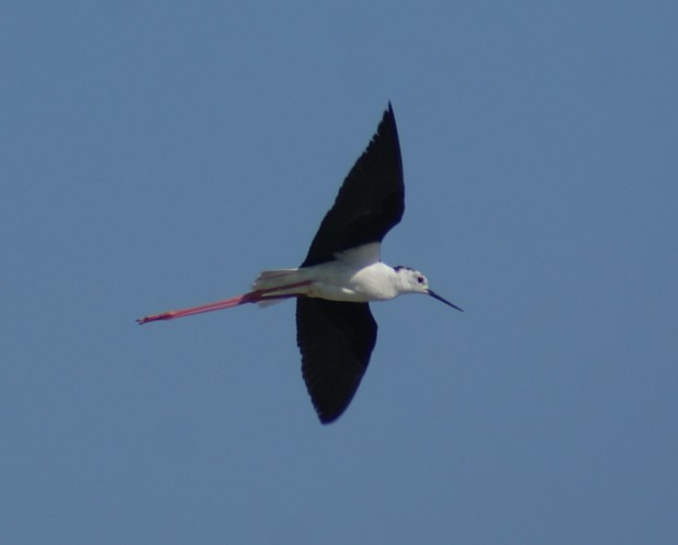 Black-winged stilt (Ivan Lang)