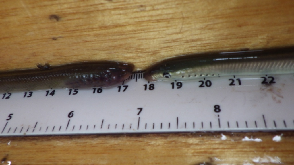 Juvenile ammocoete lamprey