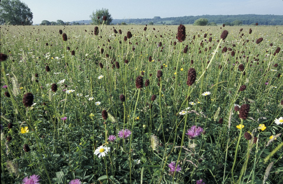 Species rich meadow