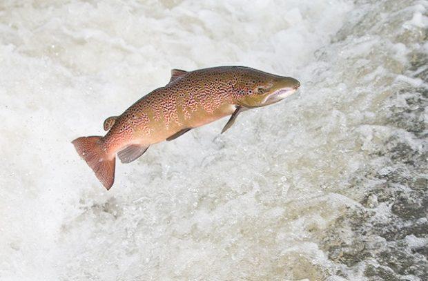 leaping-salmon-shrewsbury-weir-river-severn-jason-dale-4