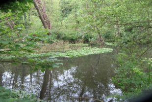 A clump of Floating Pennywort plants floating on water with trees in the background.