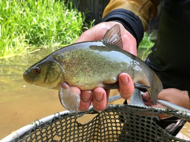 An image of a tench rescued from the River Lark near Bury, St Edmunds, Suffolk